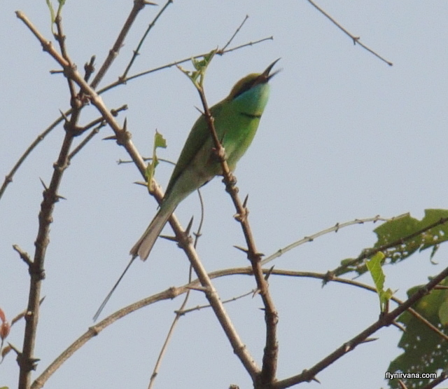 Green bee-eater at Native Place